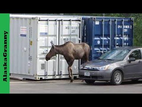 Moose In Parking Lot in Alaska