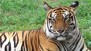 Tiger Kills UK Zookeeper in Enclosure