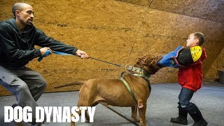 Hulk 'Attacks' 6-Year-Old Pit Bull Trainer | DOG DYNASTY