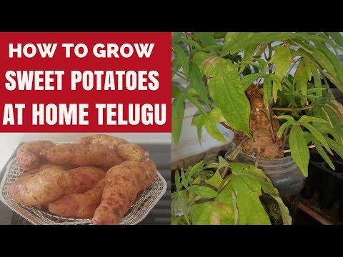 Organic Sweet Potatoes part 1| How to Grow Chilagada Dumppa at Home TELUGU. Easy way