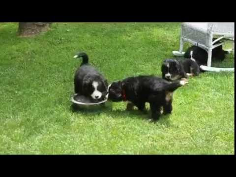 Bernese Mountain Dog Puppies For Sale