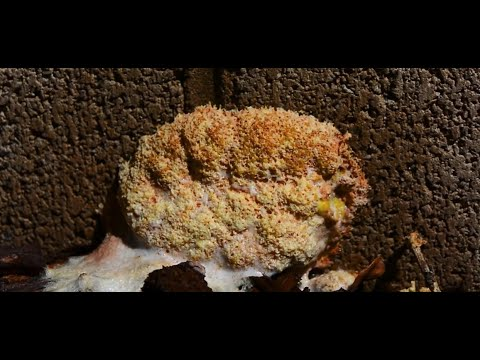 Killing slime mold with hydrogen peroxide