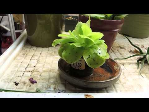 Fungus Gnat Catching Machine - Mexican Butterwort