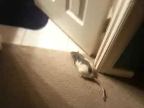 Rat Flies Off Fan!