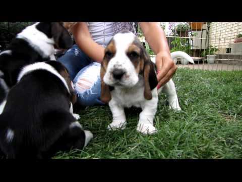 Basset Hound Puppies in HD! - 4 weeks old - part 1