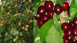 Cherry & Apricot tree fruit harvest