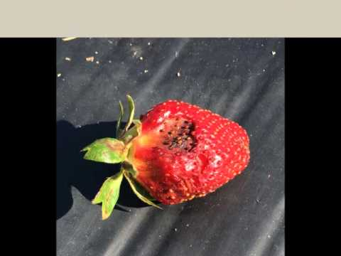 Common Strawberry Diseases for Northwest Florida