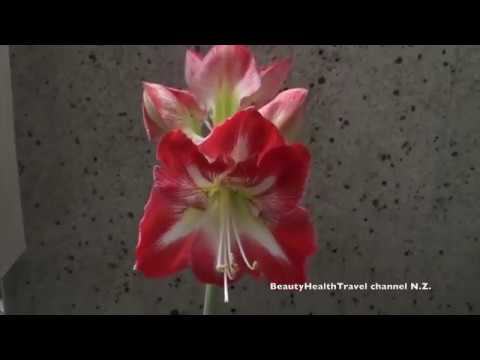 Amaryllis Pink Star and Red: time-lapse