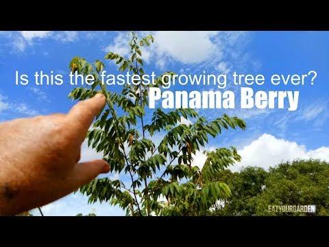 Panama Berry aka Strawberry Tree. Super fast growing fruit tree