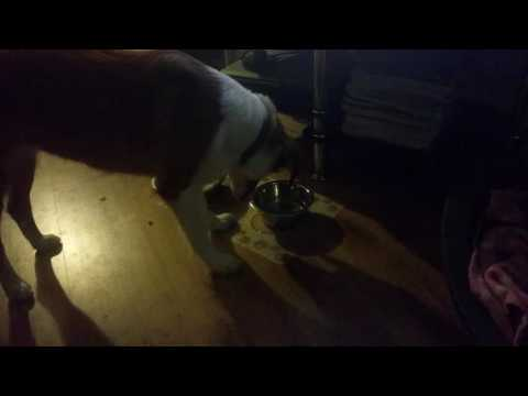 Crazy collie blowing bubbles in her water