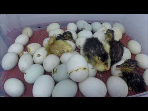 5 Hours Duck Egg Hatching Time Lapse Under 3 Minutes