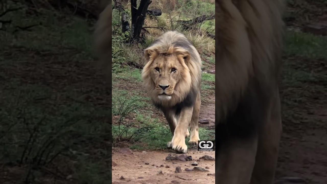 Very close lion encounter
