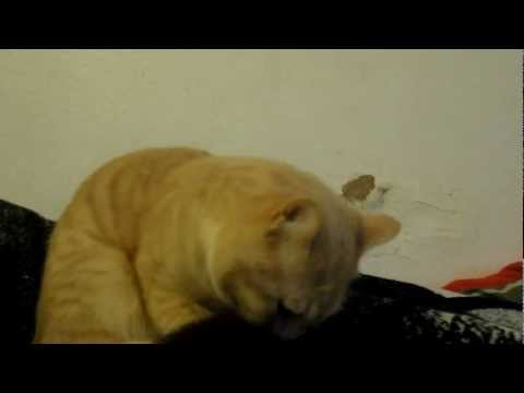 Introducing Adult Male Cat to Kittens ~part.1~