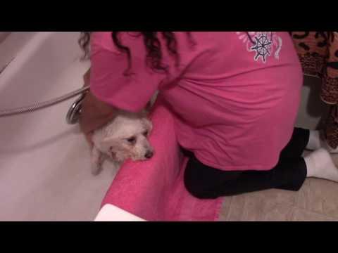 Bichon Frise Home Bathing #2