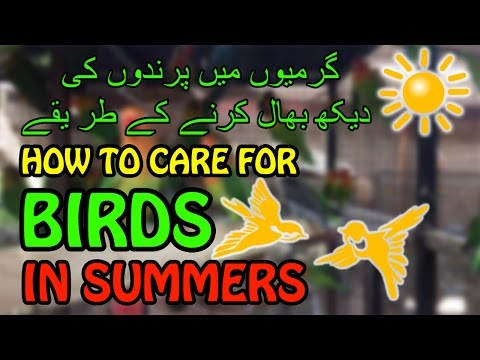How to care for a Bird in SUMMER   Bird Care   Video in Urdu/Hindi