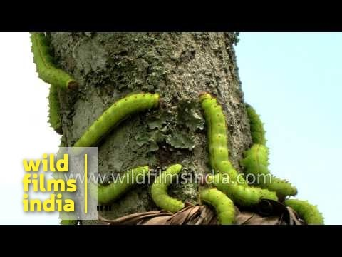 Sericulture silk worms on mulberry bark