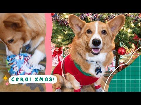 Corgi Opens Christmas Presents!