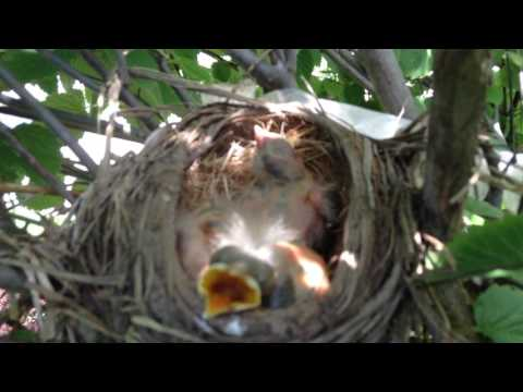 LOOK AT THESE BABY ROBINS!!! (Day Five)