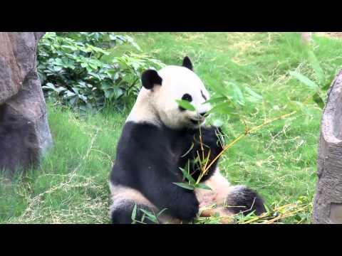 Ocean Park H.K. Giant Pandas Ying Ying & Le Le 大熊貓盈盈和樂樂 Yummy Yummy Yummy!