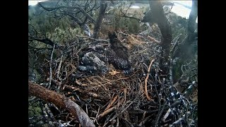Big Bear Eagle Cam ~ Goodbye Sweet Baby ~ Triple B Dies On Nest 3.23.18