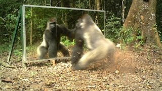 Silverback always shows aggressiveness towards mirrors - Le dos argenté agresse toujours son reflet