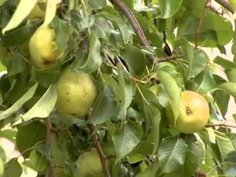 Tips on Harvesting Pears