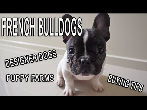 All About French Bulldogs - Designer Dogs, Puppy Farms and Buying Experience!