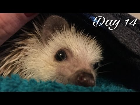 Hedgehog Bath & Snuggle (Vlogmas #14)