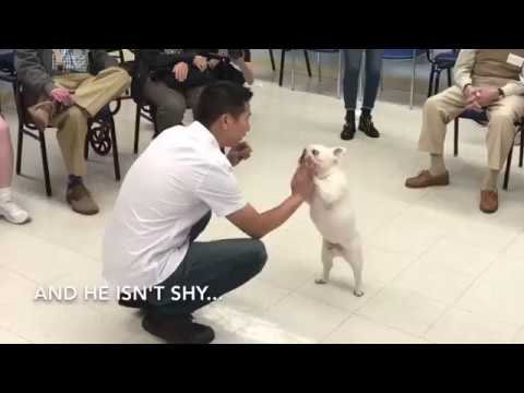 Manny the Frenchie visits patients with Alzheimer's, Parkinson's and dementia