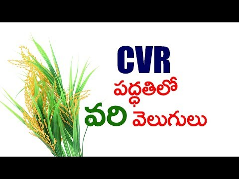 CVR METHOD : How to Increase Yield of Rice Crop Naturally ?