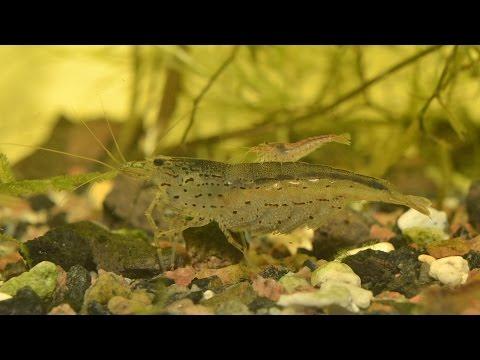 Amano Shrimp - String Algae Control