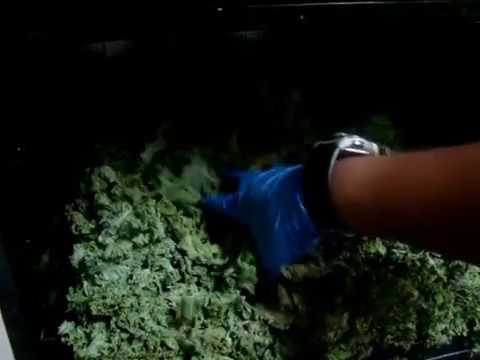 81 Dehydrating 28 Bunches of kale in Excalibur dehydrator bulk cooking prepping Pt2