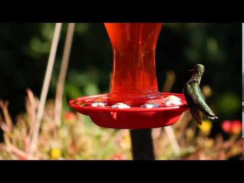 Beautiful hummingbird caught on video