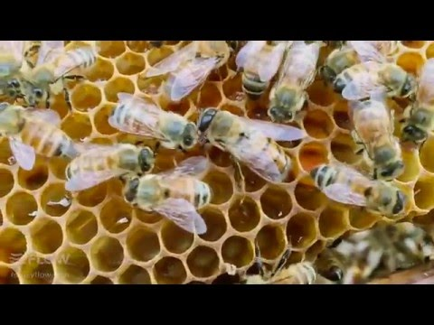 Beginner Beekeeping Ep 8 - Brood Inspection