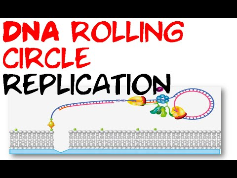 DNA rolling circle replication
