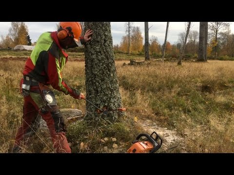 Safe and precise - How to cut down a tree
