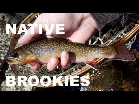 Native Brook Trout in New Jersey