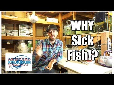 Why Sick Fish- Fish Diseases | Fungus on Fish & Ich Fish etc.
