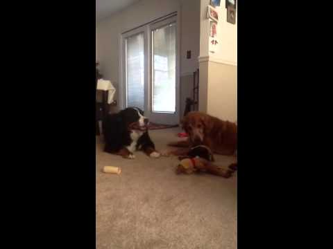 Golden and Berner Playing