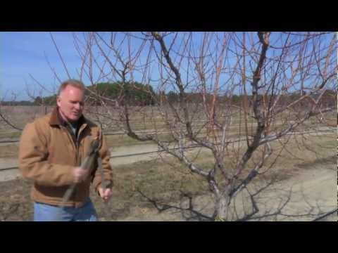 Pruning a Mature Peach Tree