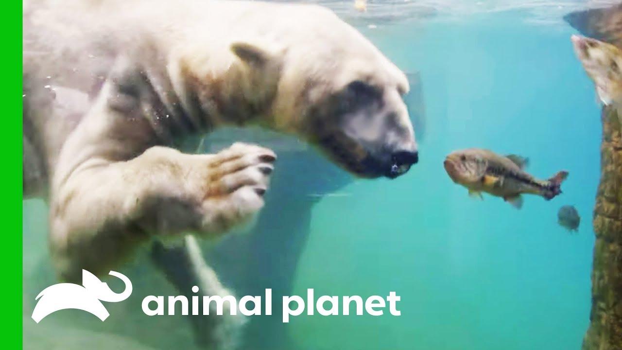 Polar Bears Show Off Their Hunting Abilities   The Zoo: San Diego