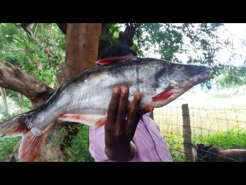 Cooking Tasty Dam Fish Recipe in My Village || Food Money Food