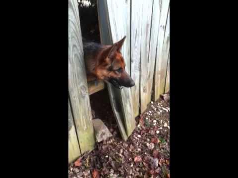 Barking Dog next Door Wood Fence
