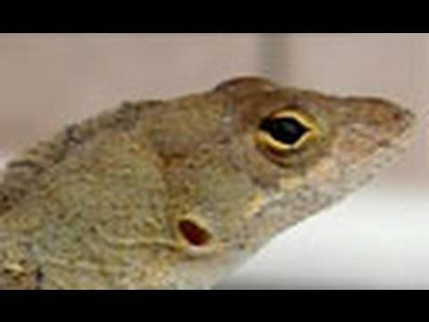 Funny Lizard Does Push-ups!