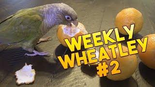 Weekly Wheatley Wednesday - Wheatley Eats a Clementine - #2