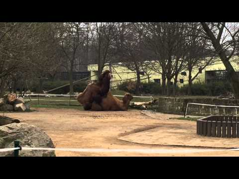 Xxx Mp4 2015 Dresdner Zoo Camel Mating Amp Reproduction Sex Clip Two 3gp Sex