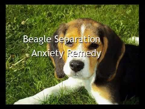 Beagle Separation Anxiety Remedy