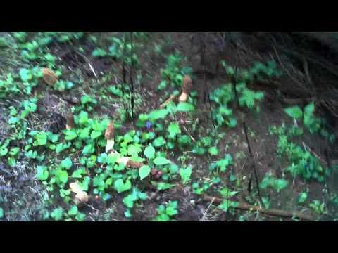 Big Morels SE Ohio, in pine trees