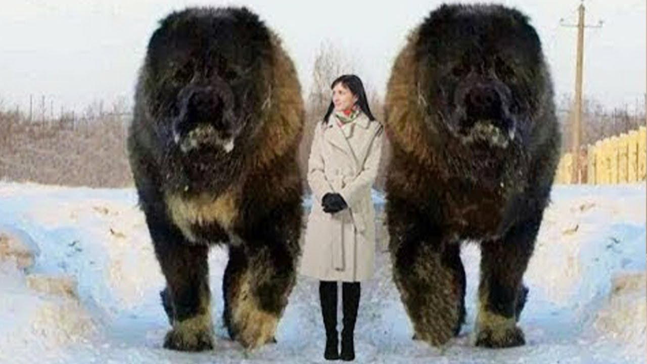 10 Abnormally Large Dogs Around The World!