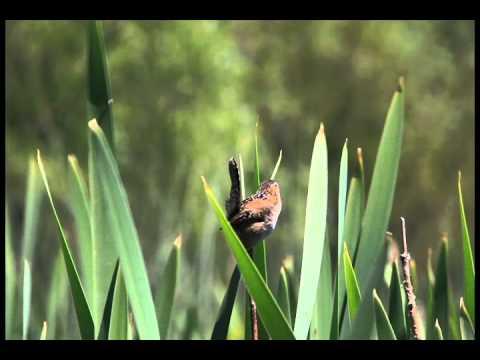 Marsh Wren at Swan Lake